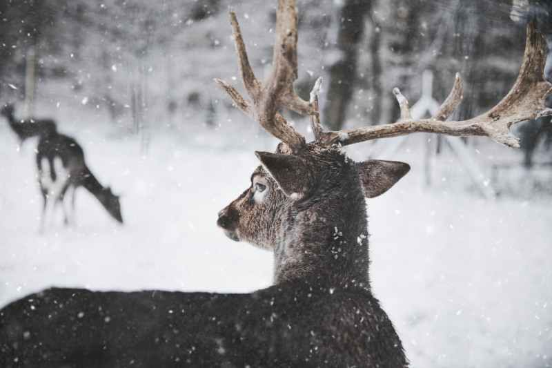 photo-of-reindeer-in-the-snow-735987